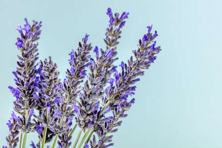Lavender flowers on a blue background with copy space, lavandula plants in bloom, aromatic herb 版權商用圖片