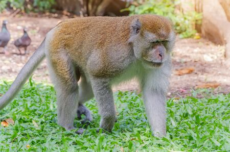 tang: Monkey at Tang Kuan Hill songkhla thailand