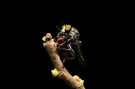 asilidae: Close up Robberfly Asilidae eating prey