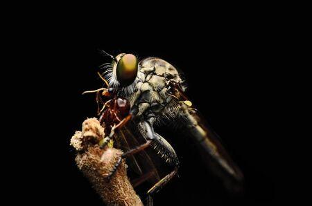 asilidae: Close up Robberfly (Asilidae) eating prey
