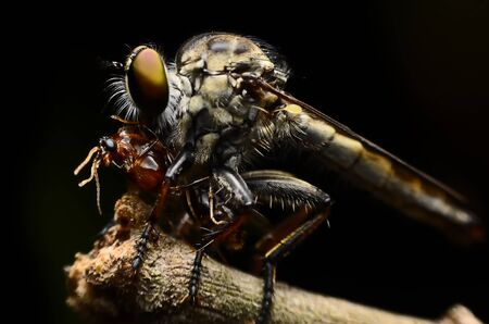 asilidae: Macro shot of a robberfly with prey