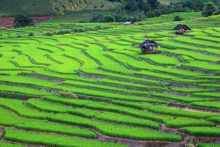 Ricefield,Chiangmai,Thailand