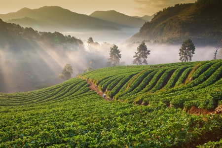 morning at beautiful strawberries farm at Chiangmai Thailand  photo