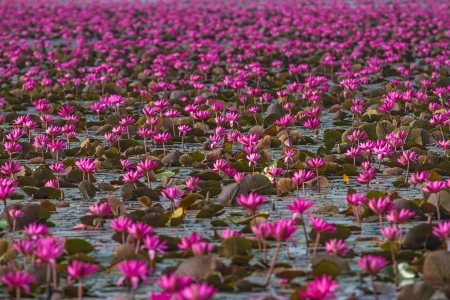 limbo: Pink lotus blossoms or water lily flowers blooming on pond