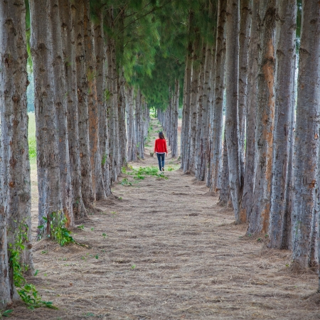 Women wearing red shirts were walking on a trail lined with pines  photo