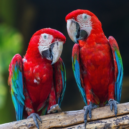 couple of macaw parrots in nature photo