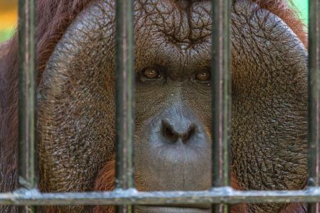 orangutang: Orangutan watching from behind steel bars with sad expression on face   Stock Photo