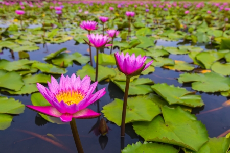 beauty pink lotus flower  photo