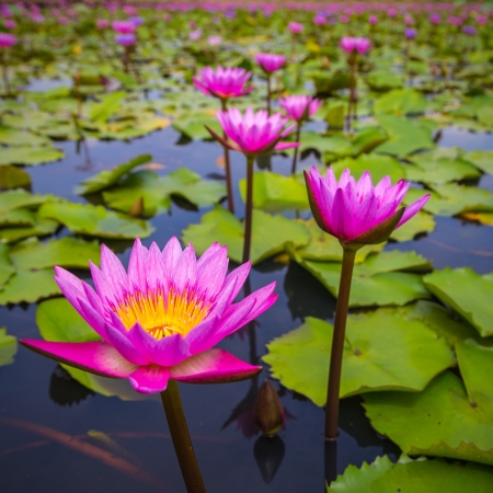 beauty pink lotus flower  Stock Photo