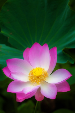 nelumbo nucifera: pink sacred lotus  Stock Photo