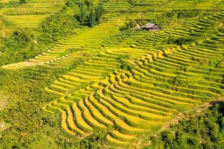 Rice field terraces at Sapa Vietnam  photo