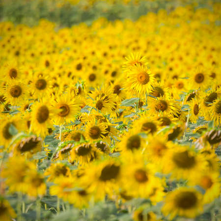 Beautiful Sunflower field  photo