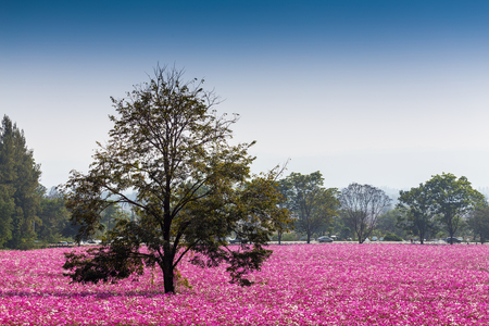 A big tree in cosmos flower field photo
