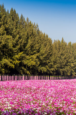 pine tree and cosmos flower garden  photo