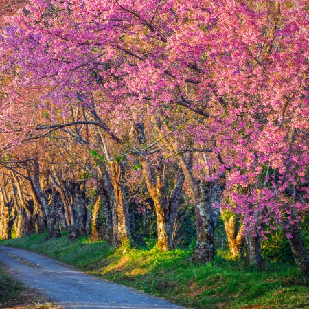 Beautiful cherry blossom road in tropical forest, Chiang Mai, Thailand