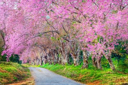 arbol de cerezo: Cherry Blossom forma camino Foto de archivo