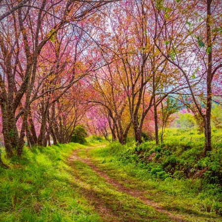 Cherry Blossom path way  photo