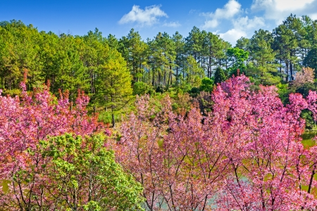 chiangmai: Beautiful Cherry blossom , pink sakura flower with pine tree background in ChiangMai, Thailand