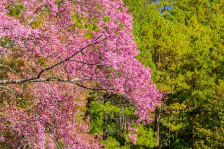 chiangmai: Beautiful Cherry blossom , pink sakura flower with pine tree background in ChiangMai, Thailand Stock Photo