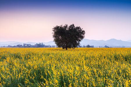 Big Tree in Sunhemp flowers field. Beautiful yellow flowers in Thailand. photo