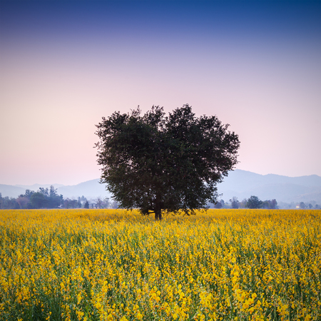 Big tree in sunhemp flowers field beautiful yellow flowers in big tree in sunhemp flowers field beautiful yellow flowers in thailand stock photo mightylinksfo