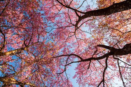 Beautiful Wild Himalayan Cherry blossom in Chiang Mai, Thailand  Stock Photo