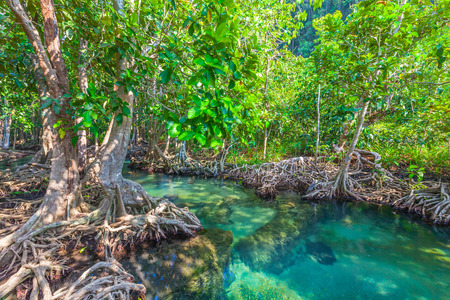 The root and crystal stream. freshwater meets with seawater from the mangrove forest, Krabi, Thailand