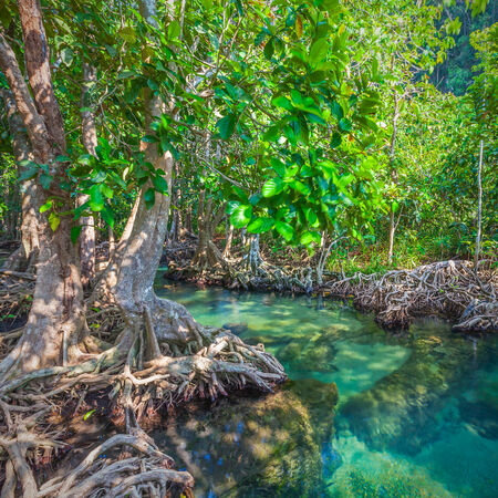 The root and crystal stream. freshwater meets with seawater from the mangrove forest, Krabi, Thailand  photo