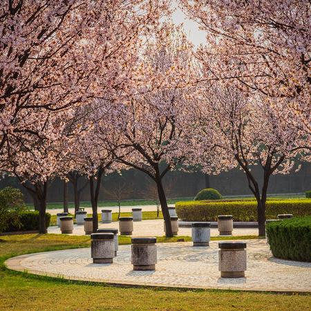 landscape garden: Cherry Blossom Path through a Beautiful Landscape Garden