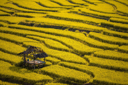 Yellow Terraced Rice Field in Chiangmai, Thailand photo