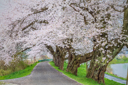 Cherry blossoms bloom path, Japan Imagens