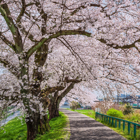 Cherry blossoms at The Hitome Senbon Sakura view along the Shiroishi Riverside Stock Photo