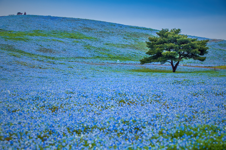 Mountain, Tree and Nemophila at Hitachi Seaside Park in spring with blue sky at Ibaraki, Japan Stock Photo