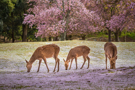 桜の季節、日本で晴れた日に奈良公園で鹿。 写真素材