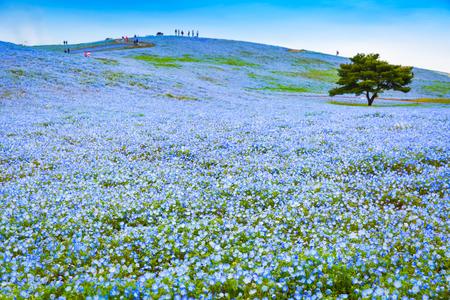 Hill of Nemophila flowers (Baby blue eyes flowers) at Hitachi Seaside Park in Ibaraki prefecture, Japan