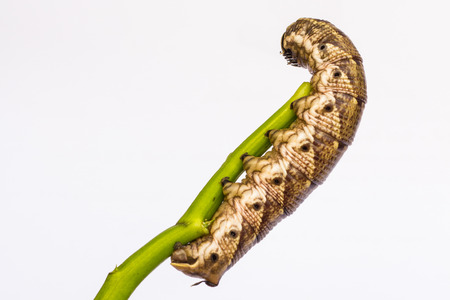 maggot: Caterpillar on a stalk isolated on a white background
