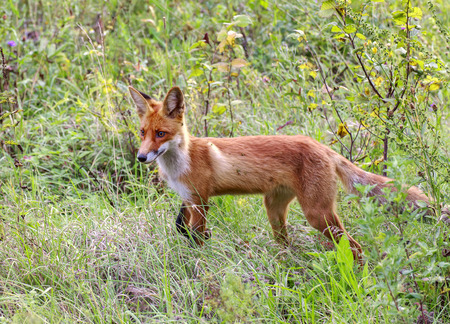 dodgy: wild fox in a forest glade. Stock Photo