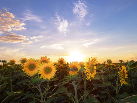 Sunset over the field of sunflowers against a cloudy sky.