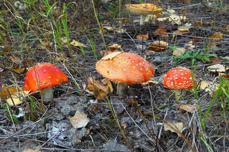 amanita: three red mushroom Amanita.