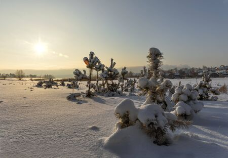 wintery day: pine trees covered with snow sunset. Stock Photo