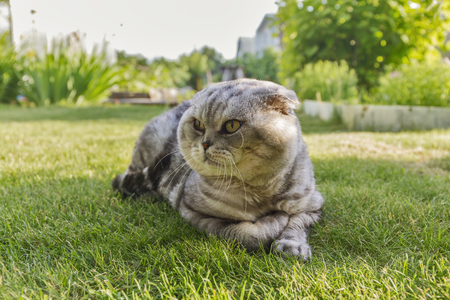 uninterested: gray cat lying on the grass.
