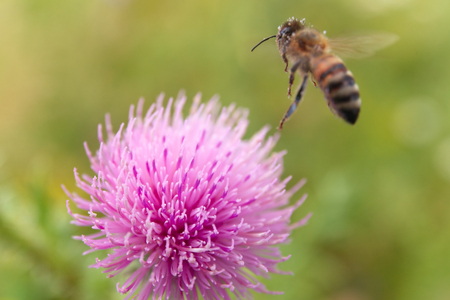 The Thistle and the bee collects pollen. Stock Photo