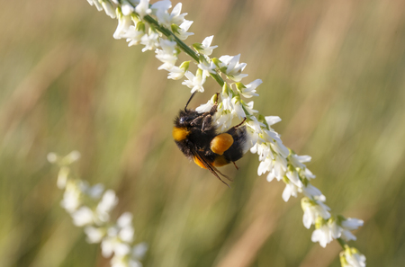 flit: Insect bee on a white flower. Stock Photo