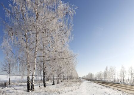 the birch trees along the road.