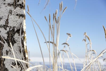 tree birch and grass winter frost. 免版税图像