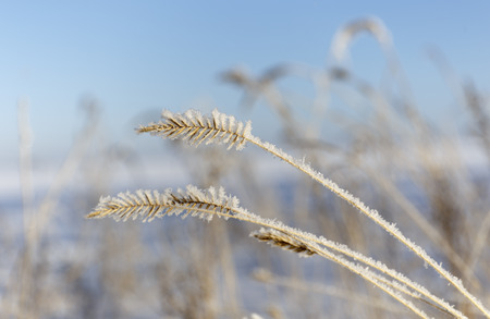 grass covered with frost.