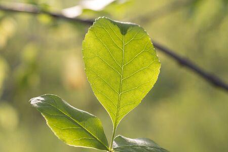 green leaf in the sun.