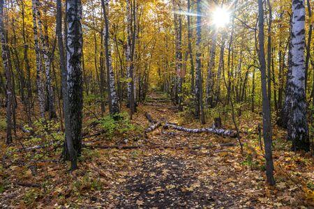 sun rays autumn birch forest. 免版税图像