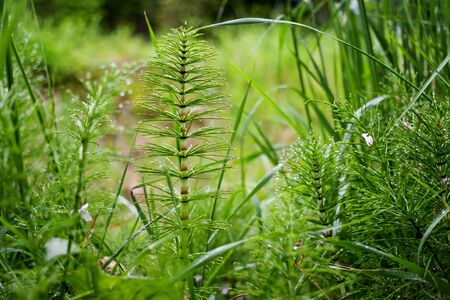 the horsetail after a rain is covered with water drops