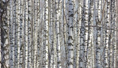 thawed: The birches lit with sunshine look as print fabric with original drawing in the Russian style. Stock Photo